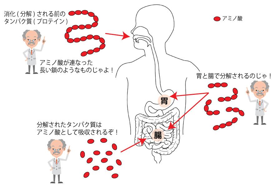 吸収 プロテイン